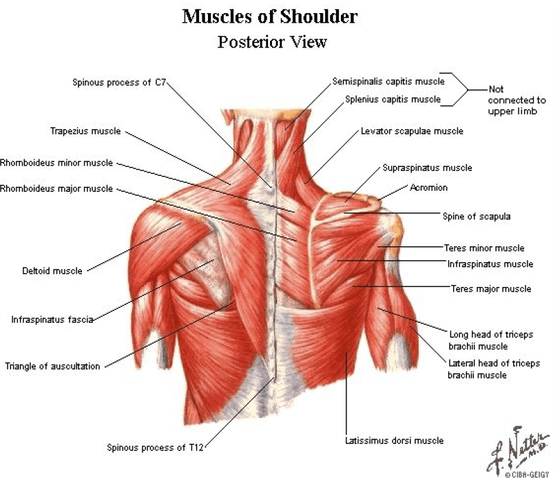 Posterior Shoulder Pain Release - Active Edge Chiropractic ...